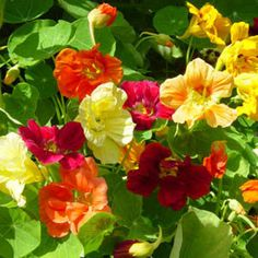 Nasturtium Jewel Mix produce bright flowers throughout the summer. A great groundcover and popular in hanging baskets too.Some parts of these flowers are edib