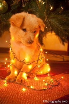 Untangling Christmas lights can be a ruff job! - My Doggy Is Delightful Super Cute Puppies, Cute Baby Dogs, Cute Little Puppies, Cute Dogs And Puppies, Cute Little Animals, Cute Funny Animals, Doggies, Adorable Puppies, Cute Animals Puppies