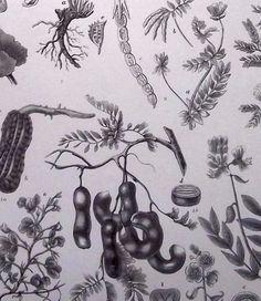 1880 - TAMARIND BOTANY - Engraving Botanical Print  #botanical #engravings #prints #lithographs #handcoloured #flowers #plants #fruits #berries #vegetables #herbs #mushrooms #Antique Print #Antique Engraving #Original Print #Original Engraving #Alte Stiche #Gravure #Stampa Antica #Ornamental #Decorative #Original #Victorian #Antique Etching #Original Etching