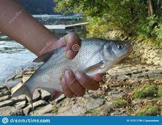 Stony, Sports Pictures, Freshwater Fish, Fresh Water, Jokes, Entertainment, Stock Photos, Image, Husky Jokes