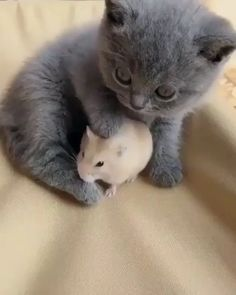 Kitten with hamster friend this cute kitten loves cuddling up to and patting its hamster friend cute kittens hamsters pets catlovers adorable aww nationalpetday! here are 25 snaps of adorable pets to make you smile Cute Baby Cats, Cute Little Animals, Cute Cats And Kittens, Cute Funny Animals, Kittens Cutest, Funny Cats, Kitty Cats, Adorable Baby Animals, Cute Pets