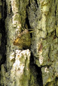 Kane, Kendall and Will counties in IL have been placed under quarantine to control the spread of the gypsy moth.