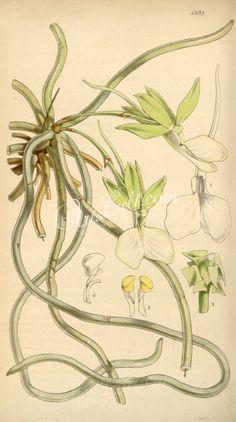 Dendrophylax funalis (as Angraecum funale)      ...