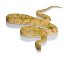 Trans-pecos Rat snake