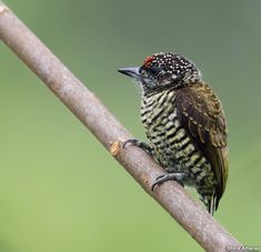 Lafresnaye's Piculet  (Picumnus lafresnayi) Male. A common piculet in the eastern Amazon and adjacent lower Andean slopes.