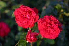 Mit der Englischen Rose L. D. Braithwaite® erwartet den Rosenfreund eine intensive Farbenpracht in seinem Garten, denn die großen karmesinro...