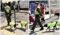 Dans cette ville Chilienne, la police adopte les chiens qui vivent dans la rue pour leur servir de compagnons pendant leurs patrouilles...