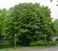 horse chestnut tree pictures - Google Search - Aesculus hippocastanum is a large deciduous tree, commonly known as Horse-chestnut or Conker tree.  Aesculus hippocastanum is native to a small area in the mountains of the Balkans in southeast Europe, in small areas in northern Greece, Albania, the Republic of Macedonia, Serbia, and Bulgaria (Pindus Mountains mixed forests and Balkan mixed forests). It is widely cultivated throughout the temperate world.