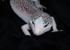 Leopard Gecko - Reptile Forums