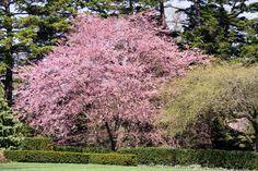 Prunus 'Accolade' Flowering Cherry