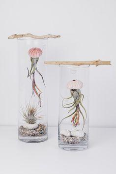 Das Glas ermöglicht den Pflanzen ein topisches Klima im sonst recht trockenen und sonnigen Wohnzimmer. Der kleine Ast mit der Angelsehne erzeugt die Illusion, meine Tillandsie würde tatsächlich schweben. Ein Seeigel- Gehäuse soll den Quallenkörper darstellen. Täglich mit destilliertem Wasser eingesprüht, geht es ihnen so gut, dass sie immer wieder neue lila Blüten bekommen. Achtung: Tillandsien mögen nur kalkarmes Wasser - Regenwasser oder destilliertes Wasser.
