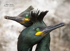 European Shag (Phalacrocorax aristotelis - Хохлатый баклан) in Norway by Marco Valentini.