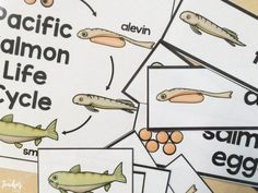 The salmon life cycle is very strange. Learn about some great salmon resources that I have compiled to help with your salmon studies. Preschool Songs, Science Activities, Science Fun, Teacher Bags, Primary Classroom, Teacher Resources, Teaching Ideas, Life Cycles, First Grade
