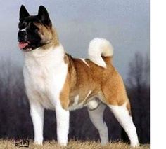 The Westminster Kennel Club | Breed Information: Akita