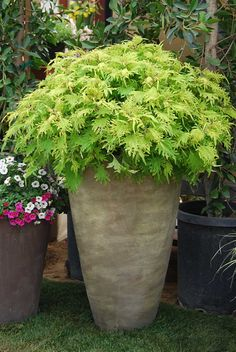 "Upright, mounding thriller for mixed containers or the landscape. ""Gold Anemone"" coleus."