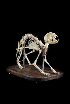 ✯ Cat Skeleton .. Articulated and Mounted by Ryan Matthew .. Photo by Sergio Royzen✯