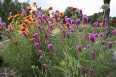 Montana Native Plants Small Trees, Plants, Xeriscape Plants, Purple Flowers, Wild Flowers, Xeriscape, Perennials, Native Plants, Clematis