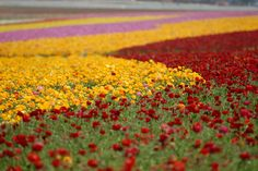 The Flower Fields in Carslbad, California bloom each April & May. Click to learn more.