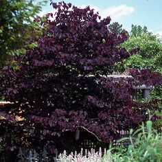 Purpleleaf redbud (Cercis 'Burgundy Hearts') --- gorgeous purple foliage all spring and summer.