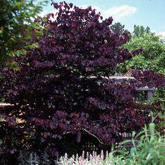 Purpleleaf redbud (Cercis 'Burgundy Hearts') --- gorgeous purple foliage all spring and summer.