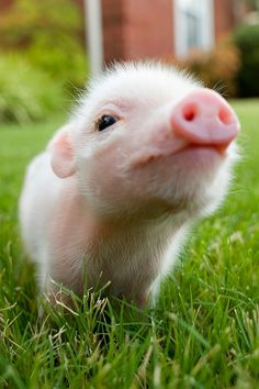 I would like a pink piglet in my backyard too... ya know, to keep the chickens company.