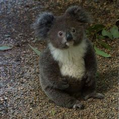 I find that pictures of koalas on the ground are soooo adorable!