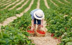 picking strawberries - Google Search Blueberry Picking, Cherry Picking, Strawberry Picking, Strawberry Farm, Summer Bucket Lists, Event Venues, Stay Fit, Summer Plan, Michigan