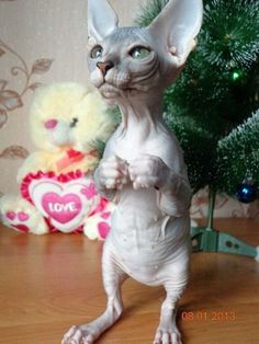 Ideas Cats Sphynx Sweets For 2019 Cute Baby Animals, Animals And Pets, Funny Animals, Beautiful Cats, Animals Beautiful, Chat Bizarre, Sphinx Cat, Photo Chat, Cute Creatures