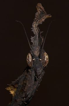 Phyllocrania paradoxa, also known as the Ghost mantis, is the sole member of its genus and resides in Africa. It is one of the smallest mantis species, usually less than 2 inches long.