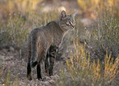 An African Wild Cat in the dunes at Kgalagadi Wild Animals Photos, Cute Wild Animals, African Wild Cat, Tonkinese, Peacock Art, Out Of Africa, Domestic Cat, Little People, Otters
