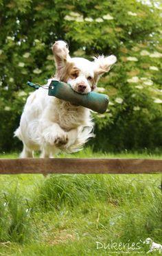Clumber Spaniel - History ✓, Character ✓, Way of working & natural abilities ✓, Training ✓ Clumber Spaniel, Spaniels, Corgi, Velvet, Training, History, Animals, Pet Dogs, Corgis