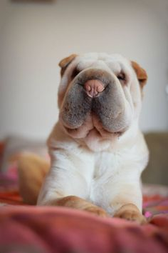 Photo Dog (Shar Pei, Chinese Shar-Pei) - of Melba - Pet photos, dogs, cats,