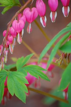 052214 bleeding heart ~ I have the same bleeding hearts in my flower bed between the stairs of my deck. So beautiful!