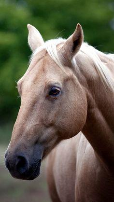 Explore vadaka1986's photos on Flickr. vadaka1986 has uploaded 11920 photos to Flickr. Pretty Horses, Beautiful Horses, Animals Beautiful, Cute Animals, Baby Horses, Wild Horses, Palomino, Andalusian Horse, Palamino Horse