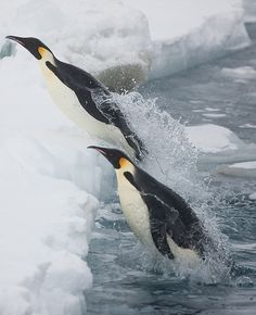 Emperor penguins - Focus On the Positive: The Marine & Oceanic Sustainability Foundation www.mosfoundation.org