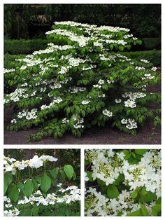 Doublefile Viburnum - Viburnum plicatum var. Tomentosum. *This viburnum loads up in spring with flowers, which then becomes fruit!*