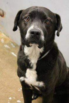 NAME: Blackie  ANIMAL ID: 24590085  BREED: Retriever  SEX: male  EST. AGE: 3 yr  Est Weight: 45 lbs  Health: heartworm neg  Temperament: dog friendly, people friendly.  ADDITIONAL INFO: RESCUE PULL FEE: $49  Out of time