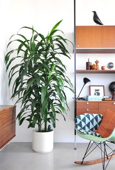 Dracaenas come in all shapes and sizes. There are lots of different varieties–striped leaves, speckled leaves, tall, short–and they do a really good job of cleaning the air in your house. They are easy care and don't need bright light!