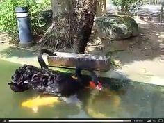 Des cygnes noirs nourrissant des poissons (6)