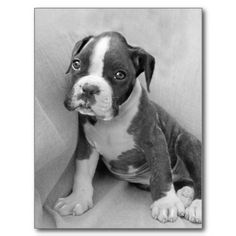 Boxer puppy post card
