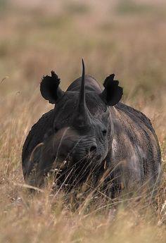 Black rhinoceros_Kenya.