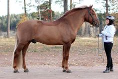 Finnhorse stallion Pilven Pyhimys was accepted to studbook with 3rd prize as a riding horse. © Pirje Fager-Pintilä