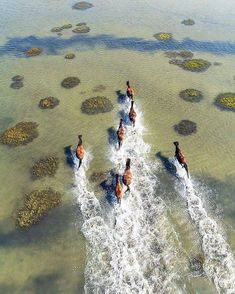 Have a curious heart and a great desire for running wild. An isolated herd of majestic wild horses appear to race against each other in the shallow waters of the Crystal Coast across the Shackleford Banks in North Carolina. Captured by Brad Styron.