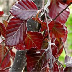 Copper beech leaves.  Saw some yesterday; one of nature's quiet glories.
