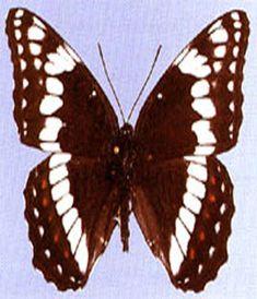 Weidemeyer's Admiral Butterfly