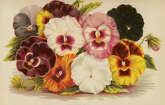 Peace starts with a Smile: History Of Pansies