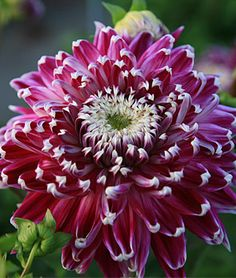 "New flower variety for 2013. Gorgeous purple dahlia with contrasting white edges, ""Dinnerplate Vancouver."""