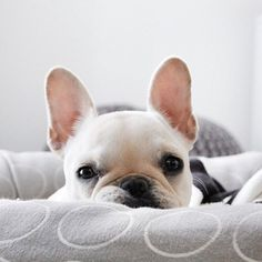 The major breeds of bulldogs are English bulldog, American bulldog, and French bulldog. The bulldog has a broad shoulder which matches with the head. Animals And Pets, Baby Animals, Funny Animals, Cute Animals, Cute French Bulldog, French Bulldog Puppies, White French Bulldogs, Cute Puppies, Cute Dogs
