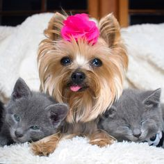 121 Best Kittens Puppies Images In 2019 Kittens Puppies