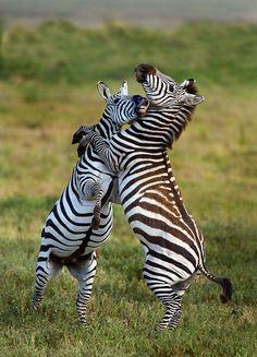 Africa | Zebras. Tanzania 2012 | ©Todd Gustafson Photo Safari